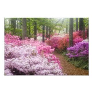 USA; Georgia; Pine Mountain. Azaleas at Photo Print