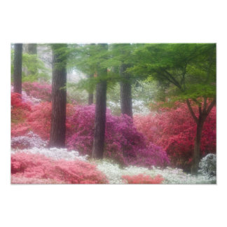 USA; Georgia; Pine mountain. Azaleas at Photo Print