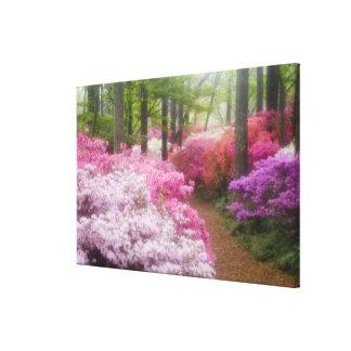 USA; Georgia; Pine Mountain. Azaleas at Stretched Canvas Print