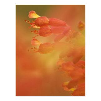USA Georgia Savannah buckeye flower abstract Post Card