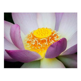 USA, Georgia, Savannah, Close-Up Of A Lotus 2 Postcard
