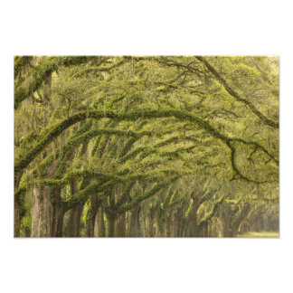 USA; Georgia; Savannah. Oak trees with Photograph