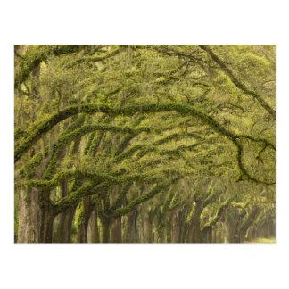 USA; Georgia; Savannah. Oak trees with Postcard