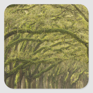 USA; Georgia; Savannah. Oak trees with Square Sticker