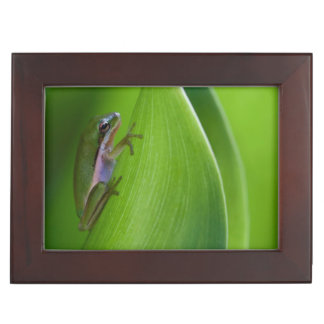USA, Georgia, Savannah, Tiny Frog On A Leaf Memory Boxes