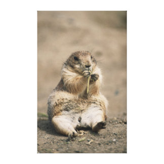 USA, Great Plains, Portrait of Prairie dog Canvas Print