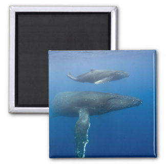 USA, Hawaii, Big Island, Underwater view of Square Magnet