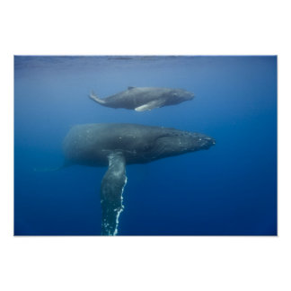 USA, Hawaii, Big Island, Underwater view of Poster