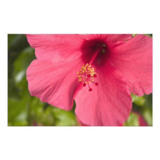 USA, Hawaii, Kauai, Hibiscus Photo Print
