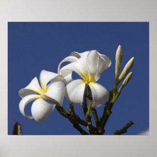 USA, Hawaii, Kauai, white plumeria. Poster