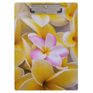 USA, Hawaii, Oahu, Plumeria flowers in bloom 1 Clipboard
