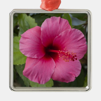 USA, Hawaii, Oahu. The Hibiscus is the 2 Christmas Ornament