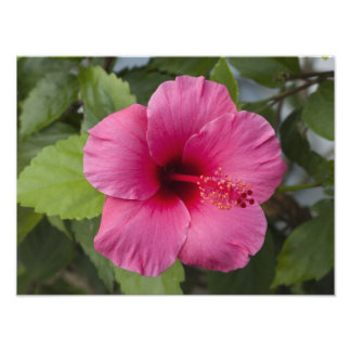USA, Hawaii, Oahu. The Hibiscus is the 2 Photographic Print