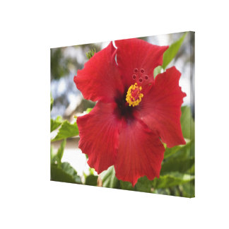 USA, Hawaii, Oahu. The Hibiscus is the Canvas Print