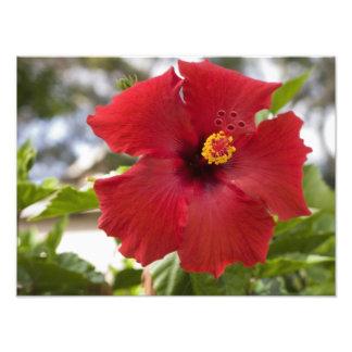 USA, Hawaii, Oahu. The Hibiscus is the Photographic Print