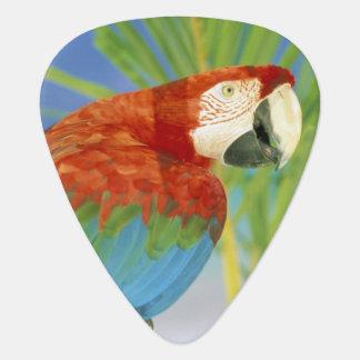USA, Hawaii. Parrot Plectrum