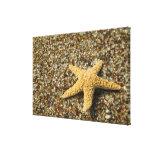 USA, HI, Kauai, Glass Beach with Star fish Canvas Print