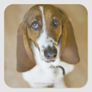 USA, Illinois, Washington, Portrait of Bassett 2 Square Sticker