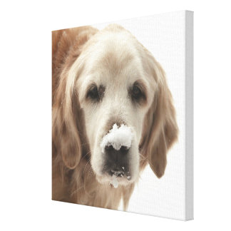 USA, Indiana, Carmel. Golden retriever with Canvas Print