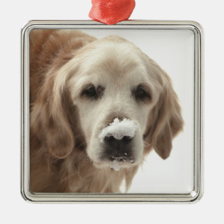 USA, Indiana, Carmel. Golden retriever with Christmas Ornament