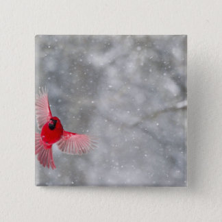 USA, Indiana, Indianapolis. A male cardinal 15 Cm Square Badge