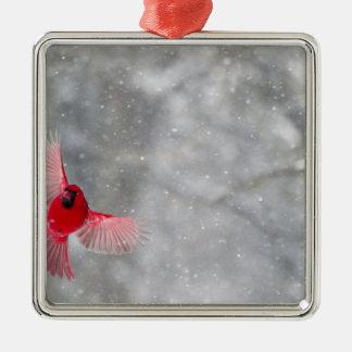USA, Indiana, Indianapolis. A male cardinal Christmas Ornament