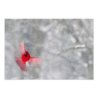 USA, Indiana, Indianapolis. A male cardinal Photo Print