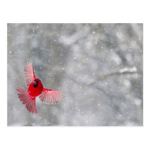 USA, Indiana, Indianapolis. A male cardinal Post Cards