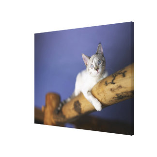 USA, Iowa, Portrait of young kitten Canvas Print