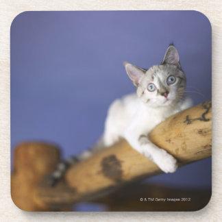 USA, Iowa, Portrait of young kitten Coaster