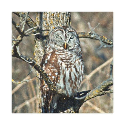 USA, Kansas. Barred Owl (Strix Varia) Stretched Canvas Print