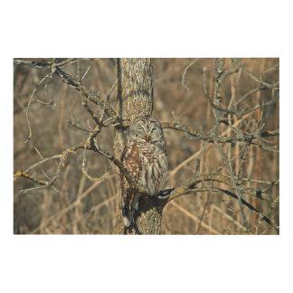USA, Kansas. Barred Owl (Strix Varia) Wood Prints