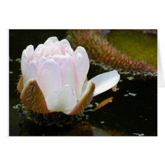 USA, Kansas, Light Pink Water Lilly Blooming Cards