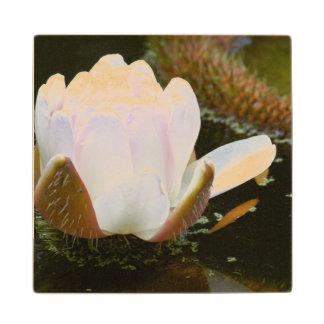 USA, Kansas, Light Pink Water Lilly Blooming Maple Wood Coaster