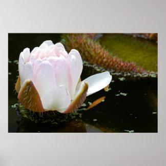 USA, Kansas, Light Pink Water Lilly Blooming Poster