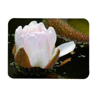 USA, Kansas, Light Pink Water Lilly Blooming Rectangular Photo Magnet