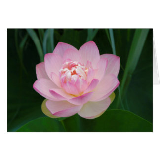 USA, Kansas, Pink Water Lilly Greeting Card