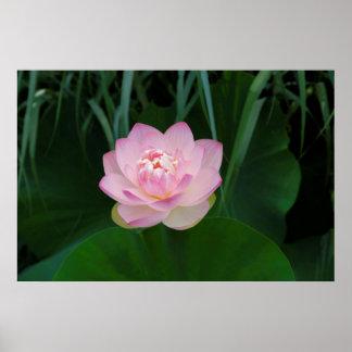 USA, Kansas, Pink Water Lilly Poster