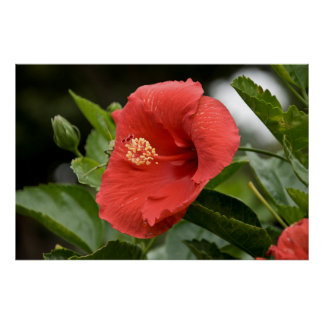 USA, Kansas, Red Hibiscus Poster