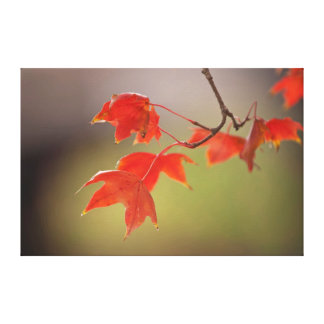 USA, Kansas, Red Leaves In Early Fall Canvas Print