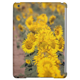 USA, Kansas. Sunflowers (Helianthus Annuus)
