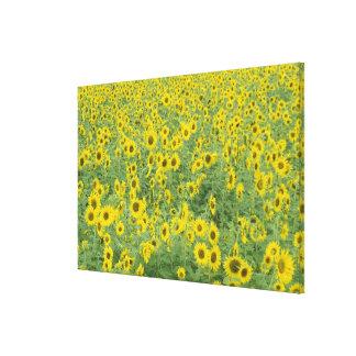 USA, Kentucky, Fayette County Pattern in field Gallery Wrap Canvas