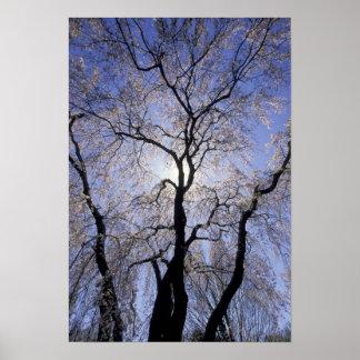 USA, Kentucky, Lexington. Backlit tree and Poster