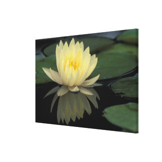 USA, Kentucky, Louisville Domestic water lily, Gallery Wrap Canvas
