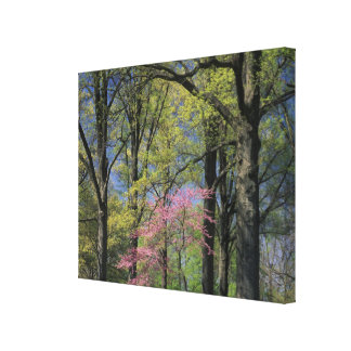 USA, Kentucky, Louisville. Eastern Redbud Stretched Canvas Print
