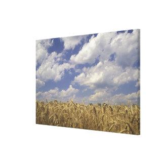 USA, Kentucky, Louisville. Wheat crop and Canvas Print