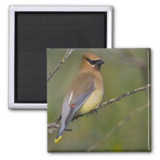 USA, Lake Sammamish, Washington. Cedar Waxwing Magnet