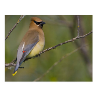 USA, Lake Sammamish, Washington. Cedar Waxwing Postcard