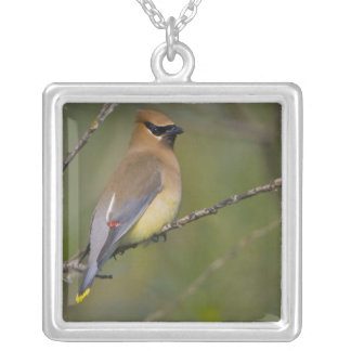 USA, Lake Sammamish, Washington. Cedar Waxwing Silver Plated Necklace