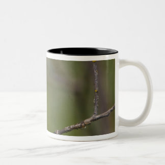 USA, Lake Sammamish, Washington. Cedar Waxwing Two-Tone Coffee Mug